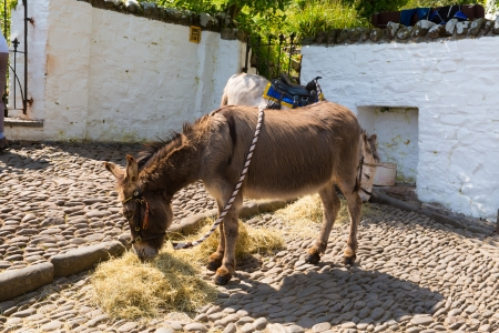 Burro comiendo heno photo