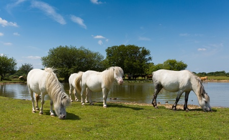 White ponies by lake on a beautiful sunny summer day