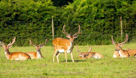 Red deer photo