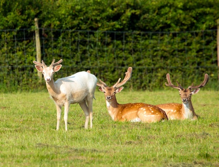 Red deer and Albino deer in the New Forest England photo