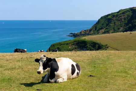 Cow in a field and view of the Cornish coast in Cornwall England UK Stock Photo