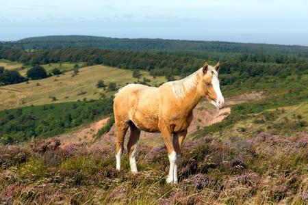 quantock hills: Light brown blonde pony and purple heather Quantocks Somerset Stock Photo