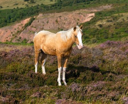 quantock hills: Pony and purple heather Quantocks Somerset Stock Photo