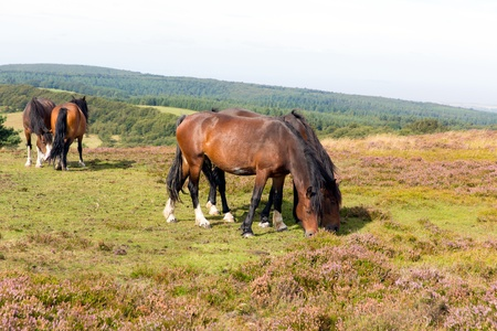 quantock hills: Ponies Quantock Hills Somerset England with purple heather