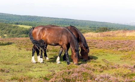 quantock hills: Wild ponies Quantock Hills Somerset England with purple heather