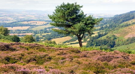 quantock hills: Single tree and purple heather on the Quantock Hills in Somerset