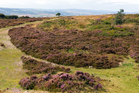 quantock hills: View on the Quantock Hills Somerset England with purple heather  Stock Photo