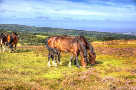 quantock hills: Ponies on Quantock Hills Somerset England with purple heather like painting in HDR Stock Photo