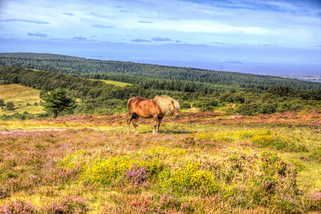 quantock hills: Pony on Quantock Hills Somerset England with purple heather like painting in HDR