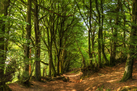 Woodland scene with green trees and path in copse in HDR like painting