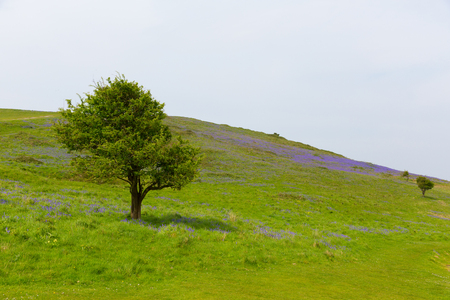Trees and bluebells in spring Brean Down Somerset England