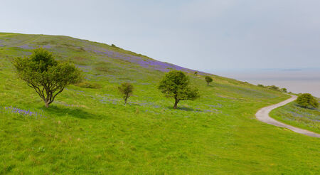 brean down: Bluebells growing on Brean Down Somerset in the spring Stock Photo