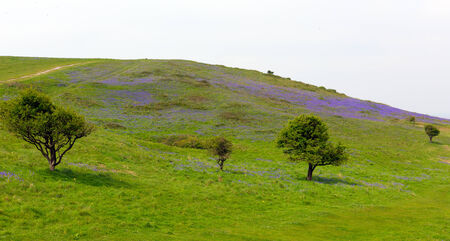 brean down: Tree and bluebells in spring Brean Down Somerset England