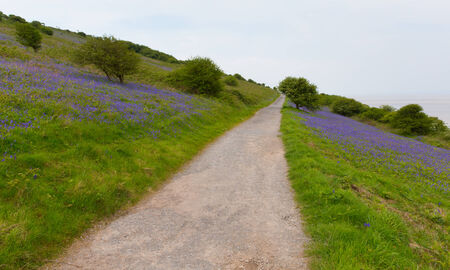 brean: Bluebell flowers in springtime Brean Down Somerset England