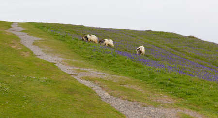 brean down: Somerset bluebell flowers in springtime Brean Down Somerset England Stock Photo