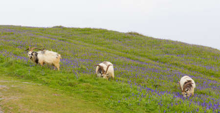 British Primitive goat breed large horns and beard white grey and black with bluebells