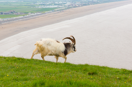 brean down: Brean Down Somerset and British Primitive goat breed large horns and beard white grey and black Stock Photo