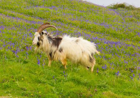 Raza de la cabra de grandes cuernos y barba gris blanco y negro con campanillas Foto de archivo