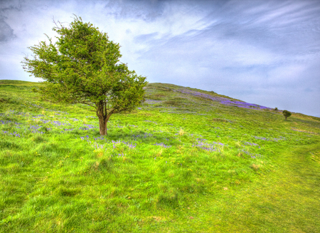 brean down: Tree and bluebells in spring Brean Down Somerset England in HDR