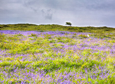 brean: Bluebells in spring in colourful HDR