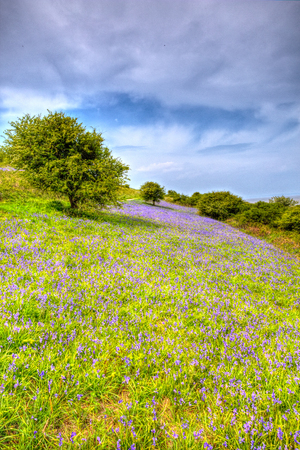 brean down: Bluebells in spring in colourful HDR