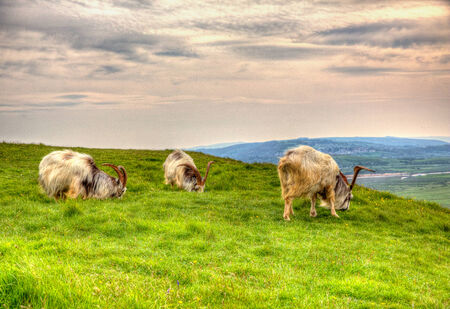 brean down: British Primitive goat breed large horns and beard white grey and black in HDR Stock Photo