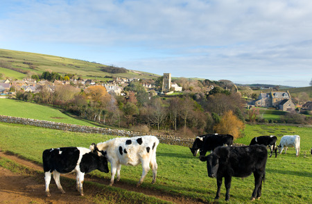 dorset: Cows grazing and Tithe Barn in Dorset village of Abbotsbury England UK Stock Photo