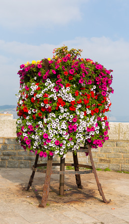 petunias: Colourful display of pink white red and yellow petunias on a stand at the seaside on a summer day