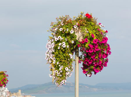 Beautiful display of pink white and red petunias on a pole summer day at the coast photo