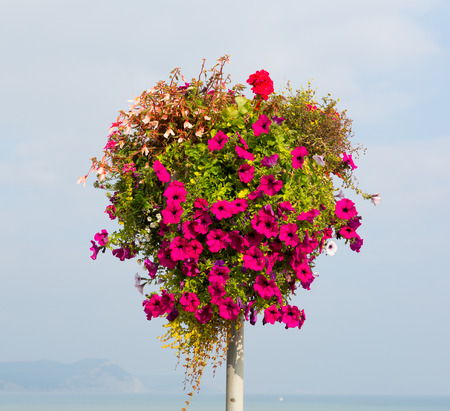 Beautiful display of pink petunias on a pole summer day at the coast photo