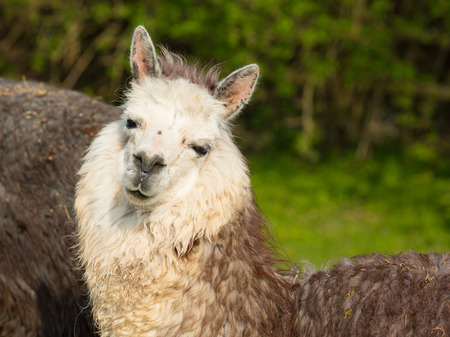 green smiley face: Cute Alpaca with smiley face against green background and head on one side