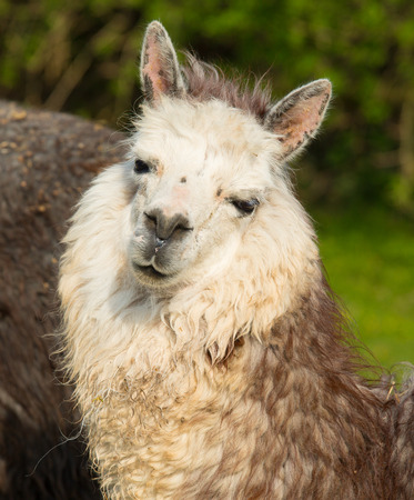 alpaca animal: Alpaca cute animal with smiley face against green background Stock Photo