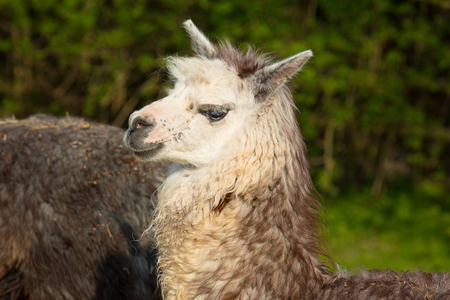 alpaca animal: Alpaca profile cute animal with smiley face against green background
