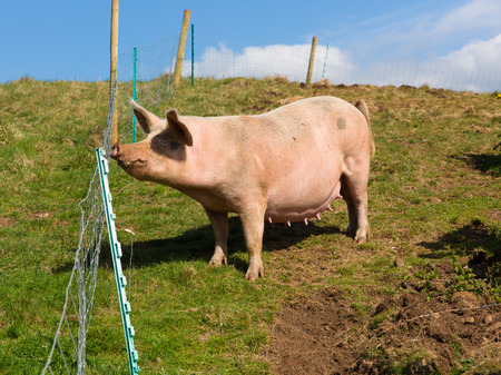 sow: Sow pig with teets standing in a field