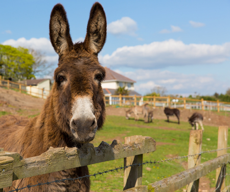 ass fun: Donkey standing by a fence in a field looking to camera with blue sky on a spring day Stock Photo