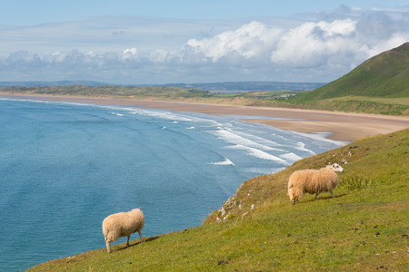 Welsh sheep Rhossili beach The Gower peninsula South Wales one of the best beaches in the UK