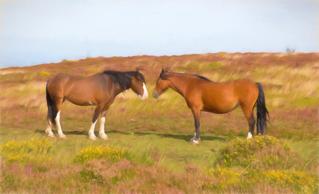 quantock hills: Two ponies touching noses in a field with purple heather