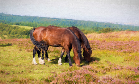 pink hills: Two ponies grazing on Quantock Hills Somerset England with purple heather illustration