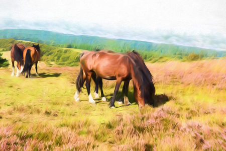 quantock hills: English country scene with ponies on Quantock Hills Somerset England with purple heather