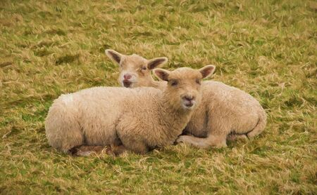 fleecy: Two sheep huddled together cuddling in shape of an X illustration like oil painting