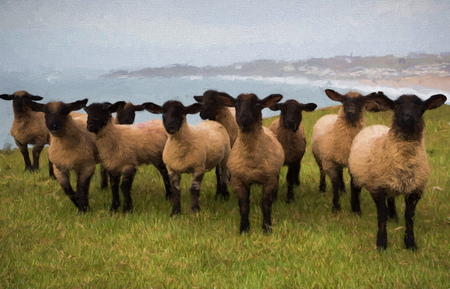 looking at camera: Herd of sheep with black faces legs and feet looking at camera illustration like oil painting Stock Photo
