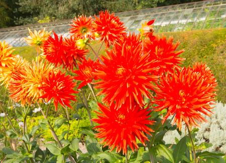 dahlia: Dahlia Vulcan semi-cactus Dahlia red orange blooms in a garden