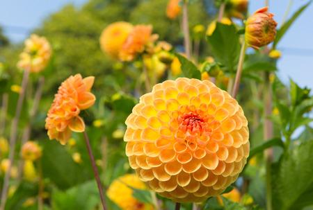 delight: Dahlia ryecroft delight yellow flower round bloom in a garden