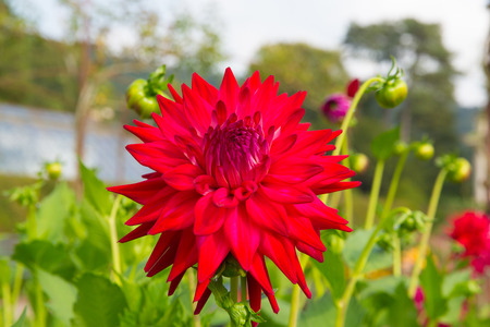 asteraceae: Dahlia tahoma tom tom semi-cactus colourful flower red in colour in a garden