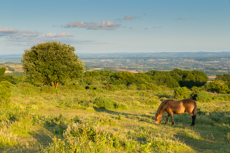 quantock hills: Wild pony Quantock Hills Somerset England UK countryside views on a summer evening