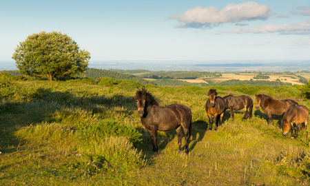 quantock hills: Wild ponies Quantock Hills Somerset England UK countryside views on a summer evening Stock Photo