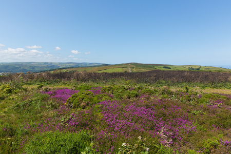county somerset: Wild pink flowers North Hill Somerset countryside scene near Minehead England UK