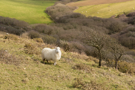 ovine: Cornwall countryside England UK with a sheep in a field