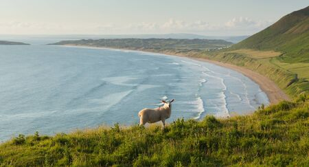 cymru: Rhossili beach The Gower peninsula South Wales UK with sheep grazing and overlooking the bay at this popular Welsh holiday destination