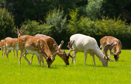 Herd of deer grazing in the English countryside New Forest Hampshire southern uk